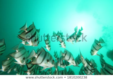 Silhouette of spadefish stock photo © perysty