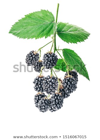 Branche feuille fruits été vert Photo stock © arturasker