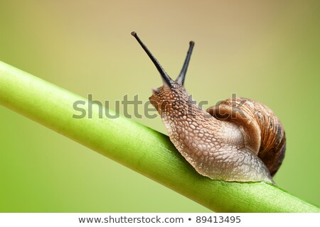 snail garden snail crawling on a stem stock photo © zhukow