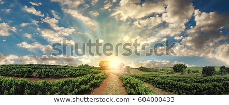 Coffee plantation sunny background Stock photo © Anna_Om