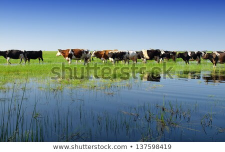 Holstein Cow Beside a Lake Stock photo © rhamm