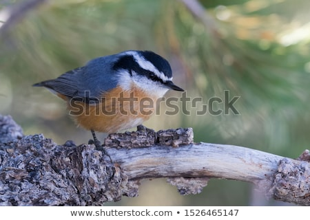 Sitting Red-breasted Nuthatch Stock photo © ca2hill