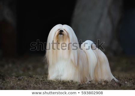 cute · afbeelding · puppy · ogen · witte · jonge - stockfoto © ruthblack