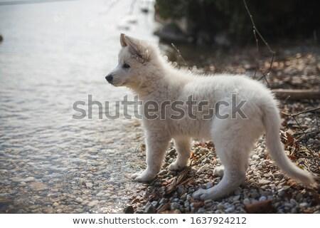 kutyakölyök · felfedez · amerikai · mászik · köteg · fa - stock fotó © willeecole