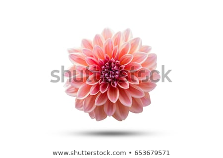 Roze dahlia bloem geïsoleerd shot Stockfoto © stocker