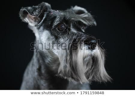 сидят · шнауцер · собака · камеры · голову - Сток-фото © fantasticrabbit