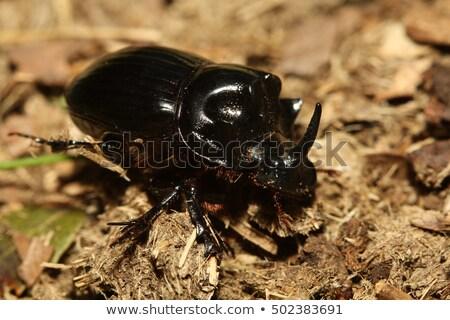 dung beetle walking on the ground stock photo © bradleyvdw