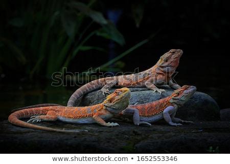 barbudo · dragão · natureza · deserto · laranja - foto stock © leungchopan
