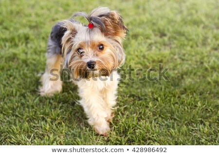 Yorkshire terrier with bow Stock photo © algor