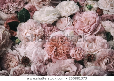 Old fashioned roses on grunge colorful background Stock photo © jarenwicklund