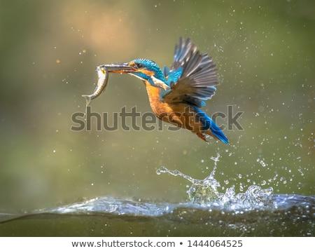 Ijsvogel vis buit vergadering tak winter Stockfoto © dirkr