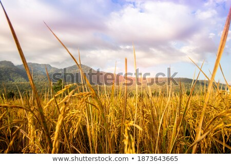 Matured golden paddy seeds Stock photo © bdspn