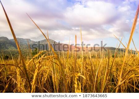 Matured golden paddy seeds stock photo © bdspn