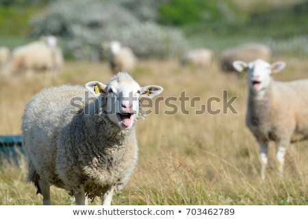 sheep bleating on a grass field stock photo © giulio_fornasar