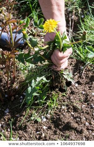 húzás · felfelé · tavasz · kert · növény · kosz - stock fotó © lianem
