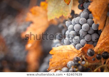 lush ripe wine grapes with mist drops on the vine stock photo © feverpitch