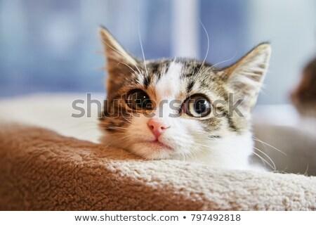 Aranyos szőrös kiscica felfelé néz stúdió fotó Stock fotó © ajn