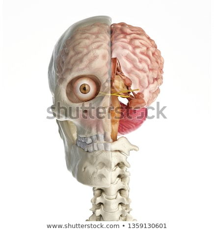 human brain cross section model stock photo © dcwcreations