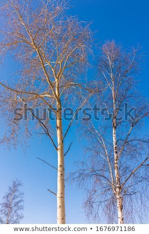 Huş ağacı ağaç mavi gökyüzü üst gökyüzü ahşap Stok fotoğraf © meinzahn