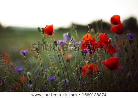 piros · pipacs · virágok · mező · közelkép · nyár - stock fotó © pixinoo