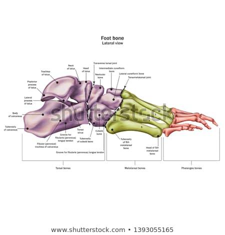 ストックフォト: 実例 · 人体解剖学 · 足 · 孤立した · 3次元の図 · 女性