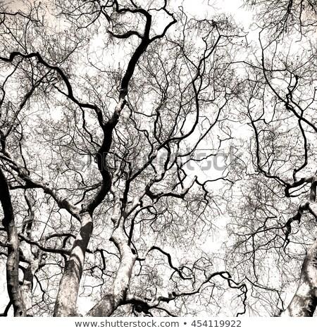 Desfolhada árvores céu muitos alto visco Foto stock © bezikus