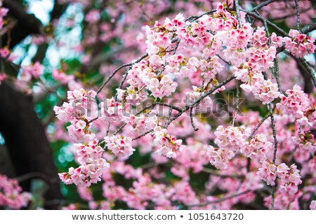Cherry Tree in Full Blossom Pink Flowers Blue Sky stock photo © Qingwa