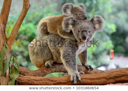 mother and baby koala stock photo © tigatelu