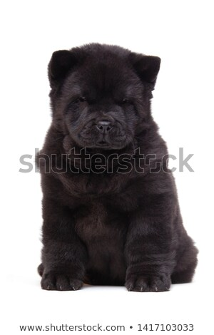 little cute chow chow puppy dog is sitting, Stock photo © feedough