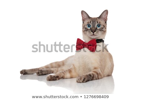 adorable grey metis cat wearing a red bowtie resting Stock photo © feedough