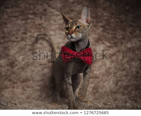 curious grey metis cat wearing red bowtie steps forward Stock photo © feedough