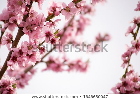 first spring flowers stock photo © anna_om