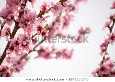 Primeiro flores da primavera pequeno rosa flores silvestres Foto stock © Anna_Om