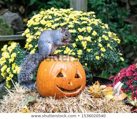 Cute тыква белку еды оранжевый осень Сток-фото © Lightsource