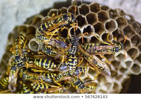 Wesp nest vergadering familie huis gras Stockfoto © galitskaya