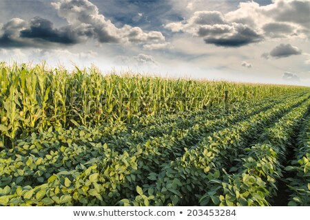 kukorica · szójaszósz · mezők · farm · kék · ég · égbolt - stock fotó © elenaphoto