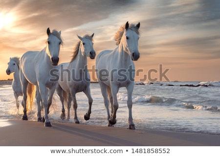 grazing white horse stock photo © cynoclub
