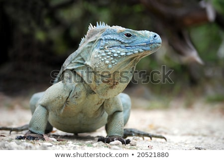 Cayman Islands Blue Iguana Stock photo © mosnell