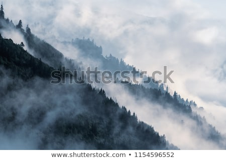 conifer forest background Stock photo © smithore
