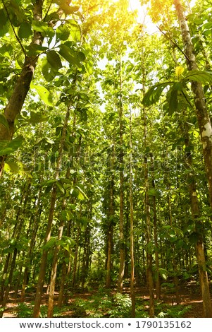 Teak forest Stock photo © stoonn