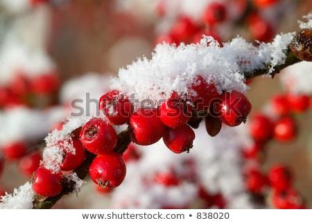 Berries in winter (Cotoneaster) Stock photo © rbiedermann