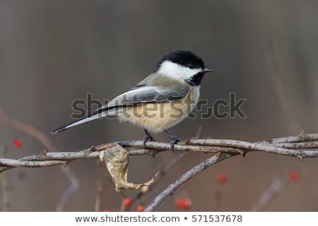 északi · etetés · magok · madár · tél · lövés - stock fotó © ca2hill