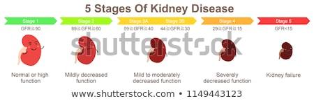 human kidney function stock photo © lightsource