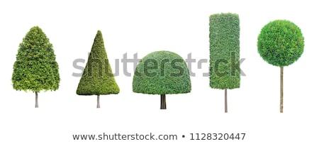 Topiary trees Stock photo © hraska