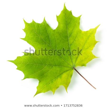 Yeşil akçaağaç yaprağı bahar yaz mevsimlik doğa Stok fotoğraf © Lightsource