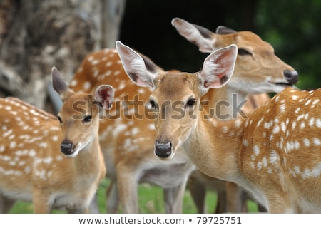 chital deer mother and child stock photo © elenarts