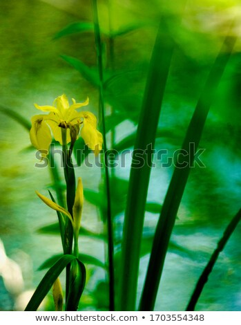 Iris jaune eau noir Photo stock © LianeM
