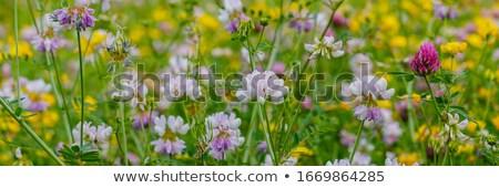 розовый цветок люцерна Саскачеван Канада Сток-фото © pictureguy