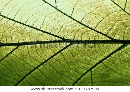Groen blad Rood aderen macro natuur frame Stockfoto © Mikko