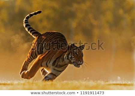 mouth of bengal tiger Stock photo © anan